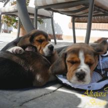 cachorros-de-beagle-tarbos