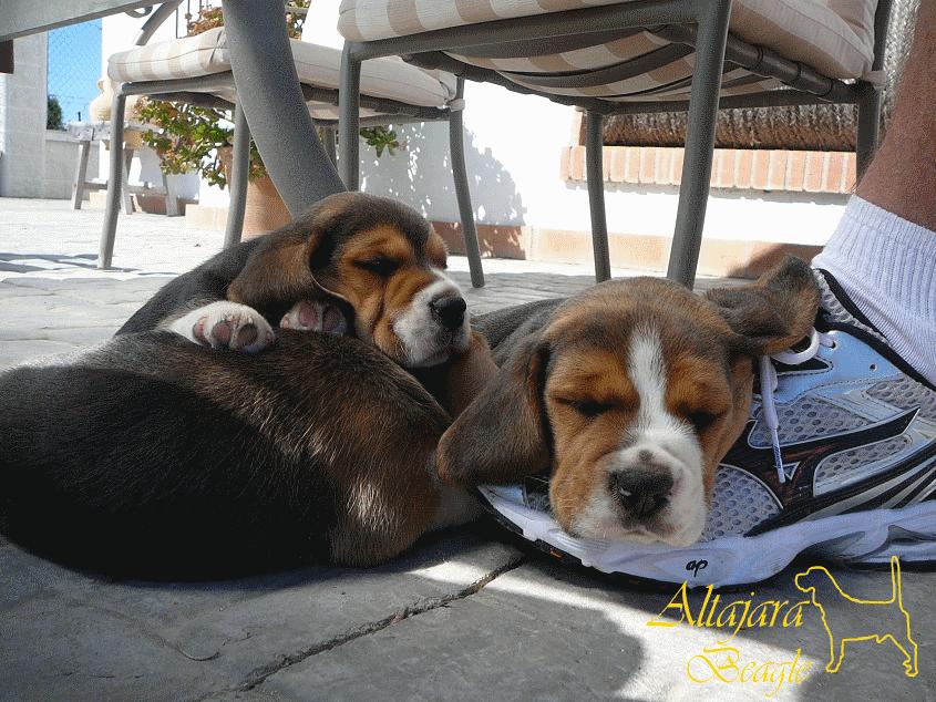 cachorros-de-beagle-tarhacana