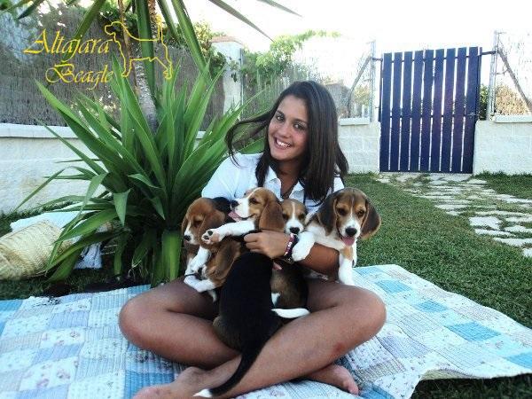 cachorros-de-beagle