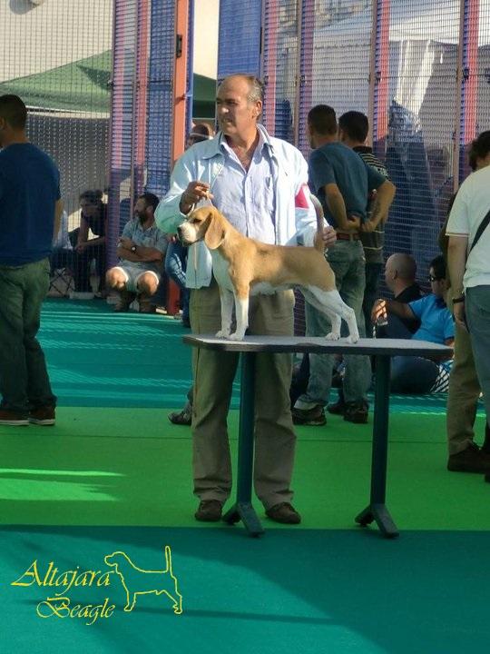 tarbos-beagle-hembra