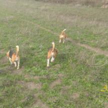 beagles11