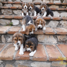 beagles15