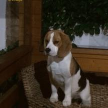 beagles17