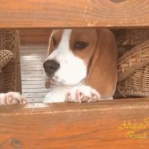beagles18