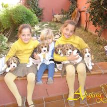 beagles7