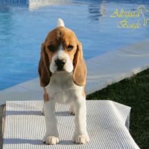 beagles8